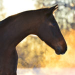 Horse coughing can be a symptom of heaves