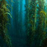 Kelp benefits include healthier skin and hair (fur).