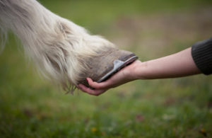 Hoof is inspected for preventing founder (laminitis)
