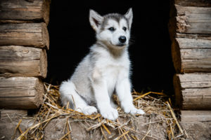 A husky puppy sitting on hay in a dog house
