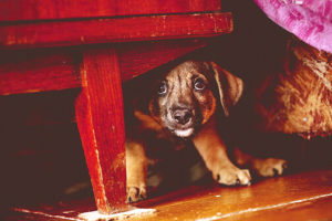A puppy hiding under a table