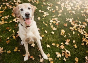 Yellow lab sitting on a lawn strewn with leaves