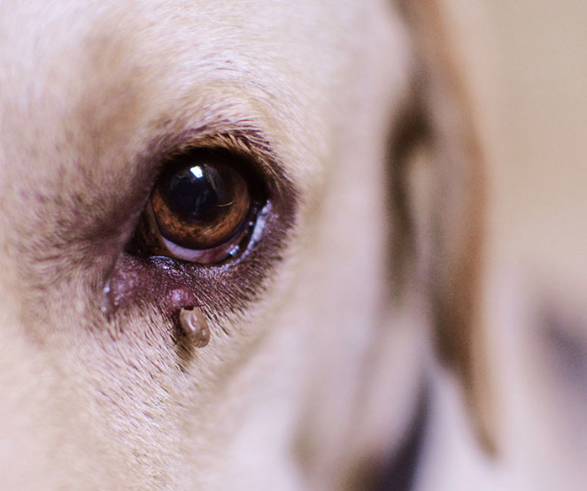 A tick attached to the bottom of a dog's eye